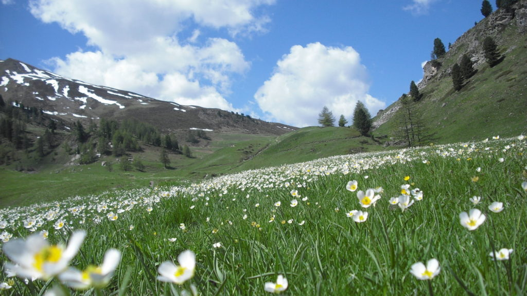 La primavera alpina fiorisce oltre i duemila metri d'altitudine